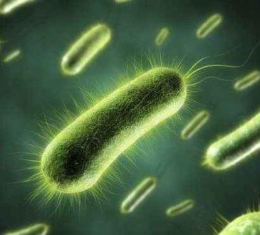Siyanobakteri nedir ?